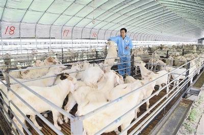 2011年养羊的市场前景如何